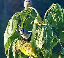 Blue Jay Breakfast by jlkinsey
