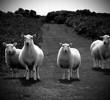 Sheep by Johanna Smith