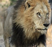 King of the sabi sands! by jozi1