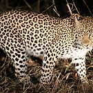 Female leopard on the move! by jozi1