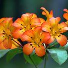 Orange flowers by Joanne Emery