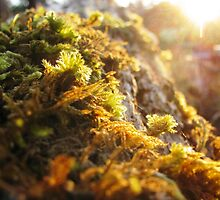 Quiet Sunset On Haloed Moss by TomLEP