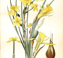 Favourite flowers of garden and greenhouse Edward Step 1896 1897 Volume 4 0111 Jonquil and Daffodil by wetdryvac