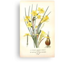 Favourite flowers of garden and greenhouse Edward Step 1896 1897 Volume 4 0111 Jonquil and Daffodil Canvas Print