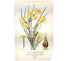 Favourite flowers of garden and greenhouse Edward Step 1896 1897 Volume 4 0111 Jonquil and Daffodil Poster