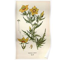 Favourite flowers of garden and greenhouse Edward Step 1896 1897 Volume 2 0106 Mentzelia Lindleyi Poster
