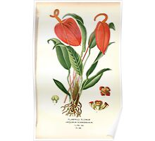 Favourite flowers of garden and greenhouse Edward Step 1896 1897 Volume 4 0259 Flamingo Flower Poster