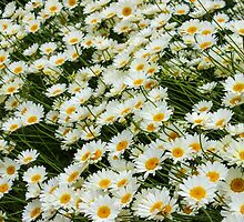 Daisy Me Rollin' by UnknownNothing