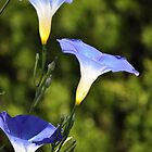 What's The Story, Morning Glories? by Gretchen Dunham