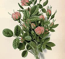Favourite flowers of garden and greenhouse Edward Step 1896 1897 Volume 1 0243 Pompon Rose by wetdryvac