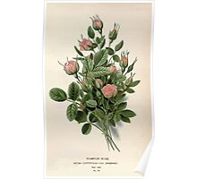 Favourite flowers of garden and greenhouse Edward Step 1896 1897 Volume 1 0243 Pompon Rose Poster
