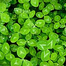 Green Clover by pturner