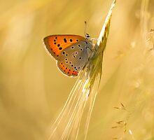 Orange butterfly on the dry grass by JBlaminsky