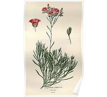 Favourite flowers of garden and greenhouse Edward Step 1896 1897 Volume 1 0141 Calandrinia Umbellata Poster