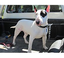 pure bred english bull terrier Photographic Print