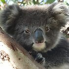 Baby Koala (Phascolarctos cinereus) Close-Up Portrait - Mount Osmond, South Australia by Dan & Emma Monceaux