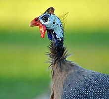 A Guinea Fowl At The North Pine Dam. Brisbane, Queensland, Australia. by Ralph de Zilva