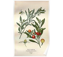 Favourite flowers of garden and greenhouse Edward Step 1896 1897 Volume 3 0137 Star Capsicum Poster