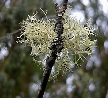 White Branched Lichen,Cradle Mountain,Tasmania, Australia. by kaysharp