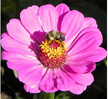 Bee and Pink Flowe Tyler Rose Garden Center Photographic Print