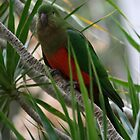 A Shy Female King Parrot by aussiebushstick