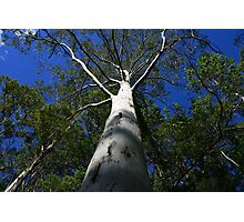 Massive Gum Tree Photographic Print