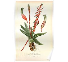 Favourite flowers of garden and greenhouse Edward Step 1896 1897 Volume 4 0155 Gasteria Verrucosa Poster