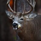 Gotta love corn - White-tailed Deer by Jim Cumming