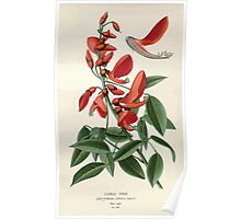 Favourite flowers of garden and greenhouse Edward Step 1896 1897 Volume 1 0216 Coral Tree Poster