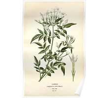 Favourite flowers of garden and greenhouse Edward Step 1896 1897 Volume 3 0074 Jasmine Poster