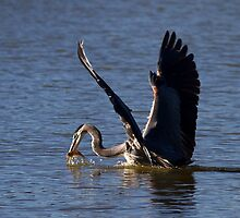Heron Fishing Successfully by Marvin Collins