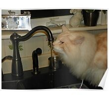 Maine Coon Cat Bentley Drinking From Faucet Poster