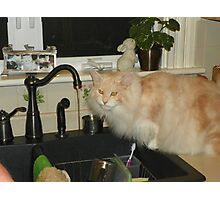 Maine Coon cat Bentley in one of his favorite places Photographic Print