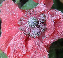 Frozen Poppy by Tracy Faught