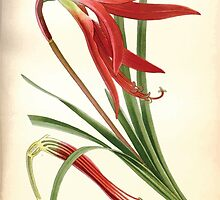Favourite flowers of garden and greenhouse Edward Step 1896 1897 Volume 4 0123 Jacobean Lily by wetdryvac