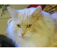 Maine Coon cat Bentley watching intently Photographic Print