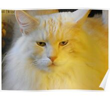 Maine Coon cat Bentley in your face Poster
