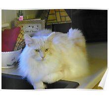 Maine Coon cat Bentley just relaxing Poster