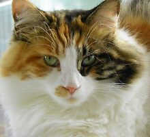 Maine Coon cat Lexus looking directly at camera by MeMeBev