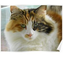 Maine Coon cat Lexus looking directly at camera Poster