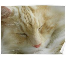 Maine Coon cat Bentley snoozing close up Poster