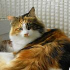 Maine Coon cat Lexus looking at camera curious look by MeMeBev
