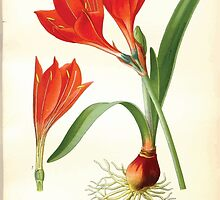 Favourite flowers of garden and greenhouse Edward Step 1896 1897 Volume 4 0119 Scarborough Lily by wetdryvac