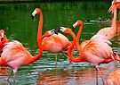 Flamingos Fighting by Chris Goodwin