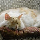 Maine Coon cat Bentley resting comfortably in chair on porch by MeMeBev