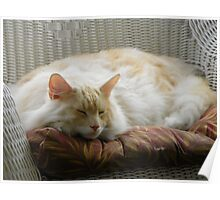Maine Coon cat Bentley resting comfortably in chair on porch Poster