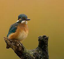 Kingfisher by Richard Bond