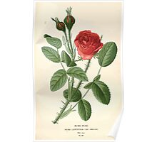 Favourite flowers of garden and greenhouse Edward Step 1896 1897 Volume 2 0022 Moss Rose Poster