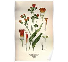 Favourite flowers of garden and greenhouse Edward Step 1896 1897 Volume 2 0238 Scarlet Cacalia Poster