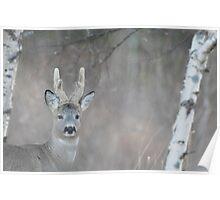 Portrait of a roe buck Poster